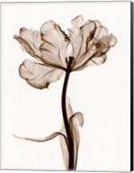 Parrot Tulips I Fine-Art Print