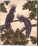 Black Palm Cockatoos Fine-Art Print
