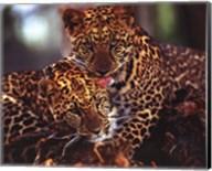 Leopards Fine-Art Print