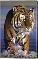 Tiger In Water Fine-Art Print