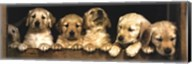 Golden Retriever Puppies Fine-Art Print