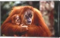 Orangutan And Baby Wall Poster