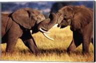African Elephants Sparring Wall Poster