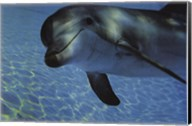 Dolphin Underwater Fine-Art Print