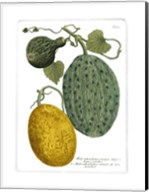 Antique Melons II Fine-Art Print