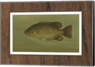 Rock Bass Fine-Art Print
