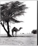 Camel and Tree, Desert of Mauritania Fine-Art Print