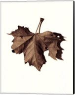 Norway Maple Fine-Art Print