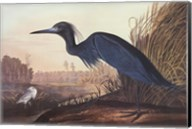 Little Blue Heron Fine-Art Print