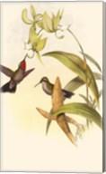 Small Gould Hummingbird IV Fine-Art Print