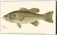 Large-mouthed Black Bass Fine-Art Print
