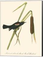 Audubon's Blackbird Fine-Art Print