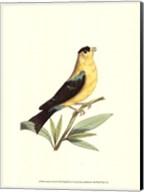 American Finch Fine-Art Print