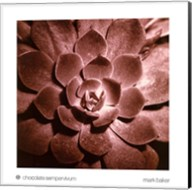 Chocolate Sempervivum Fine-Art Print