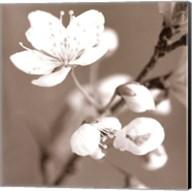 Blossom III - sepia Fine-Art Print