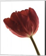 Red Tulip Fine-Art Print