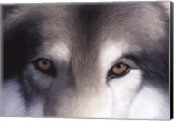 Eyes of the Hunter: Gray Wolf Fine-Art Print