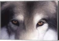 Eyes of the Hunter: Gray Wolf Fine-Art Print