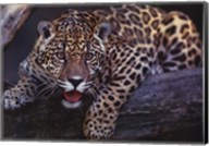 Jaguar Fine-Art Print