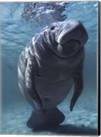 West indian Manatee Fine-Art Print