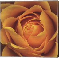 Elegance - Peach Rose Fine-Art Print