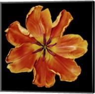 Apricot Parrot Fine-Art Print