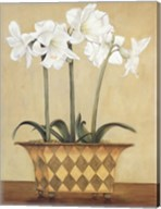 Amaryllis In Checkered Vase Fine-Art Print