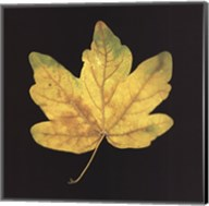 Yellow Maple Fine-Art Print