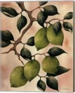 Italian Harvest - Limes Fine-Art Print