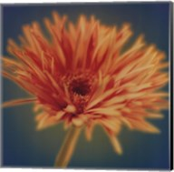 Chrysanthemum on Turquoise Fine-Art Print