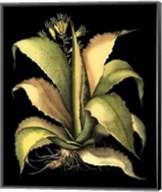 Dramatic Aloe II Giclee