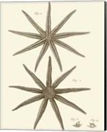 Striking Starfish III Giclee