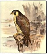 Peregrine Falcon Fine-Art Print