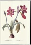 Amaryllis Brasiliensis Fine-Art Print