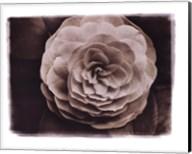 Camellia II Fine-Art Print