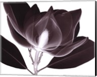 Magnolia (Sm.) Fine-Art Print
