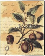 Nutmeg Fine-Art Print