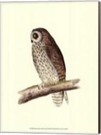 Short Eared Owl Fine-Art Print