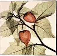 Japanese Lanterns (med.) Fine-Art Print