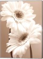 Two Daisies Fine-Art Print