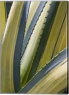 Variegated Agave II Fine-Art Print