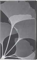 Ginkos II Fine-Art Print