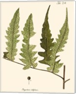 Small Antique Fern VII Fine-Art Print