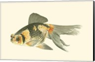 Telescope Goldfish Fine-Art Print