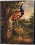Classic Peacock Fine-Art Print