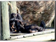 Chimps - Just Chillin Fine-Art Print
