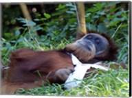Orangutan - Just about to take a nap Fine-Art Print