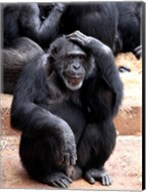 Chimp - Let me think it over Fine-Art Print