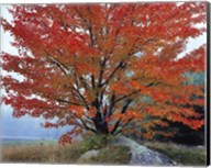 Wild Red Maple and Fog, New Hampshire Fine-Art Print