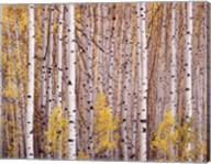 Aspen Grove, Colorado Fine-Art Print